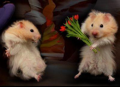 mignons-cochons-d-inde-romantique-tulipe-flora