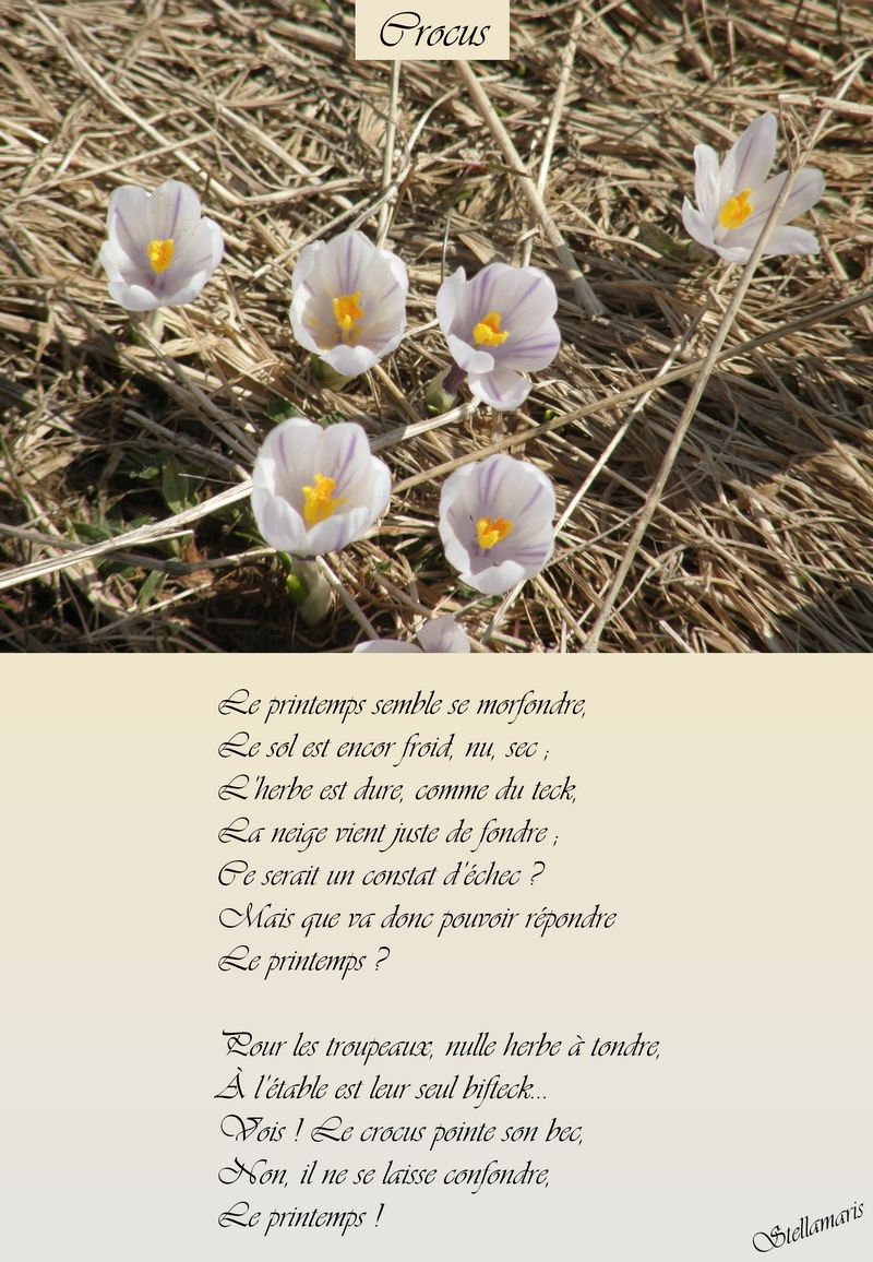 Crocus / / Le printemps semble se morfondre, / Le sol est encor froid, nu, sec ; / L'herbe est dure, comme du teck, / La neige vient juste de fondre ; / Ce serait un constat d'échec ? / Mais que va donc pouvoir répondre / Le printemps ? / / Pour les troupeaux, nulle herbe à tondre, / À l'étable est leur seul bifteck… / Vois ! Le crocus pointe son bec, / Non, il ne se laisse confondre, / Le printemps ! / / Stellamaris