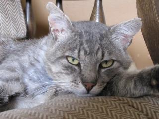 Spider chat tigré gris mâle FIV+ de 08/2005 - dpt 56 Img_0238-1e97596