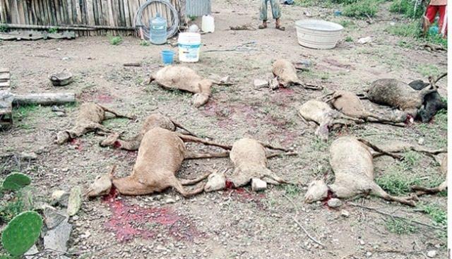 Des attaques de chupacabra au Mexique Chupacabras-victims-2010-1feb814